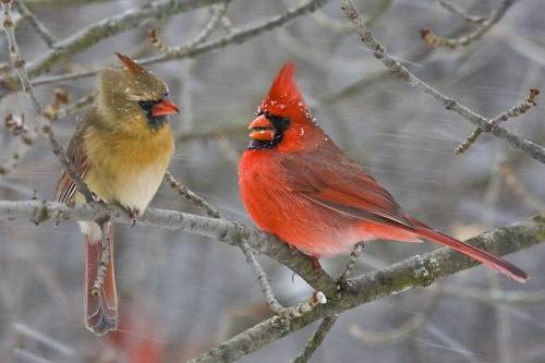 I love cardinals. They are beautiful and have an endearing chirp and show some fidelity to particular sites, so it's likely I'm seeing the same few pairs all the time. Here are some ways to encourage cardinals to visit your backyard! Choosing larger, heavier feeders that will not sway, or placing feeders on sturdy poles rather than hanging them to provide more stability when cardinals are feeding. Placing a tray or platform beneath hanging feeders or feeders with narrow perches to provide better space for these large songbirds to feed. Ensuring feeders are filled early in the morning and late in the evening, as these birds are often the first and last to visit feeders each day. Keeping feeders filled even during the stormiest winter days. Because cardinals stay in the same range year-round, they will become accustomed to a reliable food source. Leaving high, open perches on trees to provide perching space for singing cardinals, particularly during the spring and early summer when breeding season begins. Covering reflective surfaces such as glaring windows, car mirrors and chrome equipment that could distract cardinals. These aggressive birds will attack their own reflections, and doing so causes excessive stress that may make the birds seek another yard to frequent.  (via about.com ; photo via Nature3rdTied)