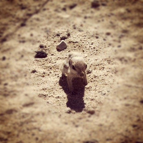 baby desert squirrel (Taken with Instagram at Swap Meet)