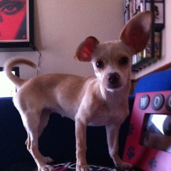 This is how kash's ears stay now. @pickledtink  (Taken with Instagram)