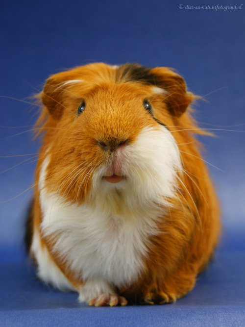 guineapiggies:  Lovely Rambo (by Bieke Maes Fotografie)