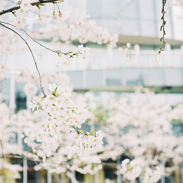 ileftmyheartintokyo:  Sakura in Tokyo Midtown by t.ono on Flickr. if it's sakura, I will keep rebloging