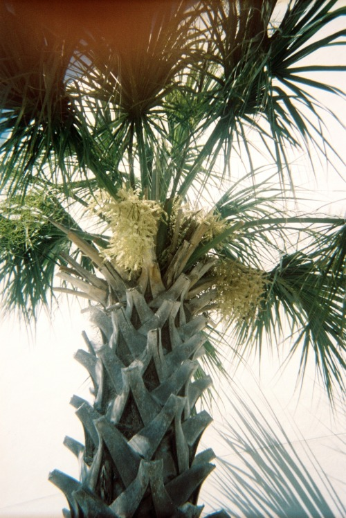 sh-oreline:  i love palm trees