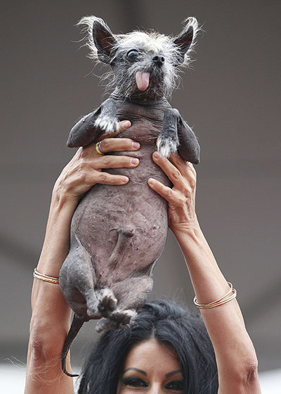 allcreatures:  An owner shows the audience her Chinese crested named Handsome Hector. Photograph: Kimihiro Hoshino/AFP/Getty Images Ugly dogs compete for world title in California - in pictures