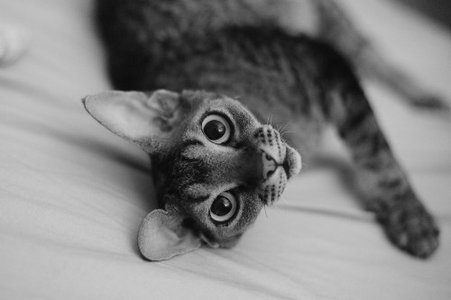 photogenicfelines:  Ellie (by ir0nz)