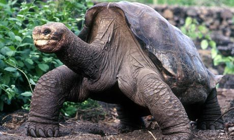 haumealand:  R.I.P. Lonesome George. Lonesome George was a a tortoise, the last of his kind. A Pinta Island Tortoise, he was a subspecies of the Galápagos tortoise, and was the rarest creature in the whole world. There was even a reward to anyone who could locate a female Pinta Island tortoise so that they would not become extinct. Sadly, it was announced today that Lonesome George had died, and with him a whole breed of tortoise that this world will never see again.  Owh.