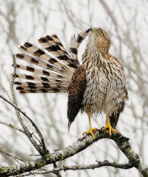 fairy-wren:  cooper's hawk (photo by wes aslin)