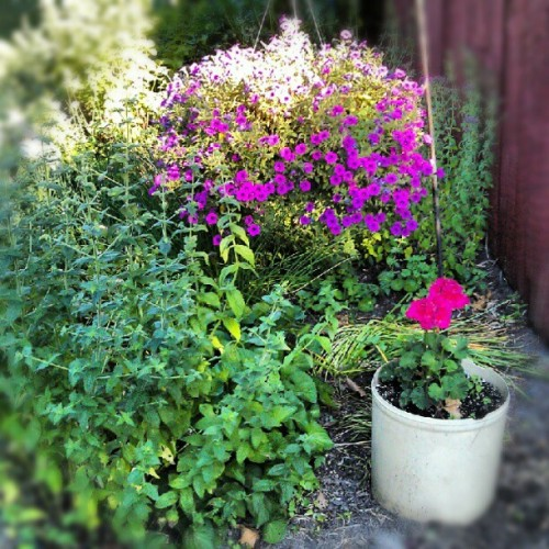 My summer herb garden. #gardening #herbs (Taken with Instagram)