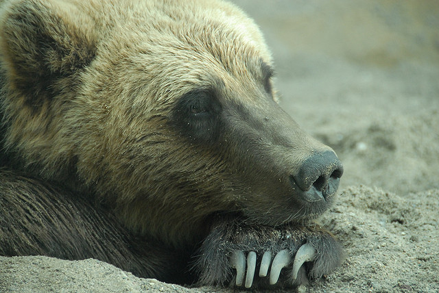 "animals-animals-animals:  Grizzly Bear (Ursus arctos horribilis) (by guppiecat)  I know what she's thinking: ""OH, NO! I broke a nail and I have a date tonight!"""