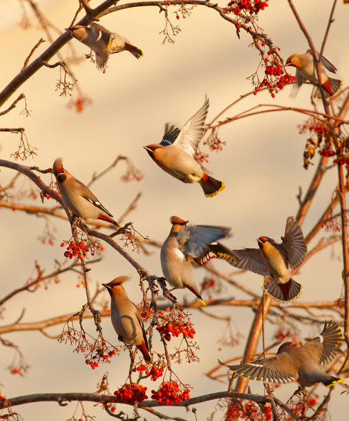 ecocides:  Waxwings, Siberia | image by Dmitry Dubikovskiy