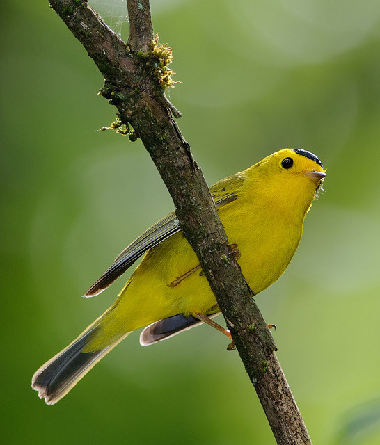 fairy-wren:  wilson's warbler (photo by wes aslin)
