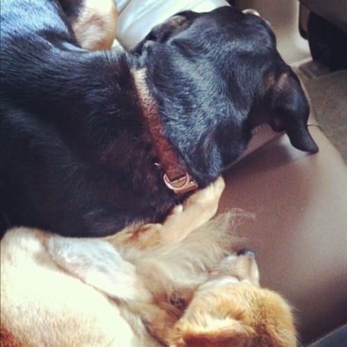 Big-little sister, Little-big brother #petstagram #dogs  (Taken with Instagram)