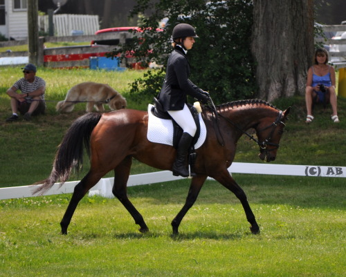 A friend's little Thoroughbred mare, Desiree at her first event last weekend. her dressage was kind of flawless judging from the photo ;)