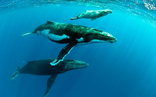 fyeah-seacreatures:  Three Humpbacks. (Robin Hughes)