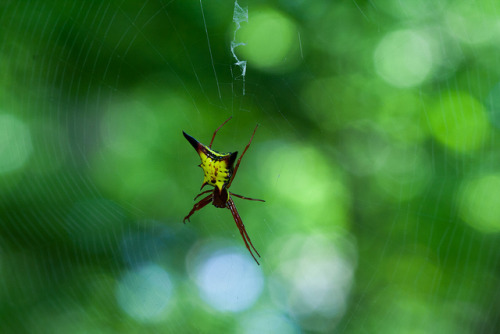 Arrowshaped Micrathena - Micrathena sagittata on Flickr.