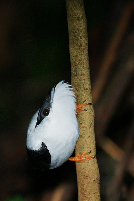 fairy-wren:  white-bearded manakin (photo by dave2x)