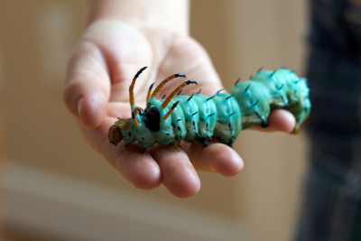 animals-animals-animals:  Hickory Horned Devil (by bionicteaching)