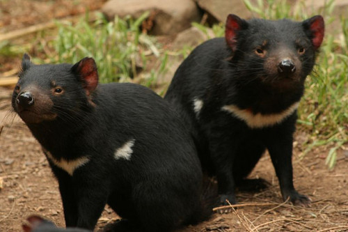 animals-animals-animals:  Tasmanian Devils (by 1981Adam)