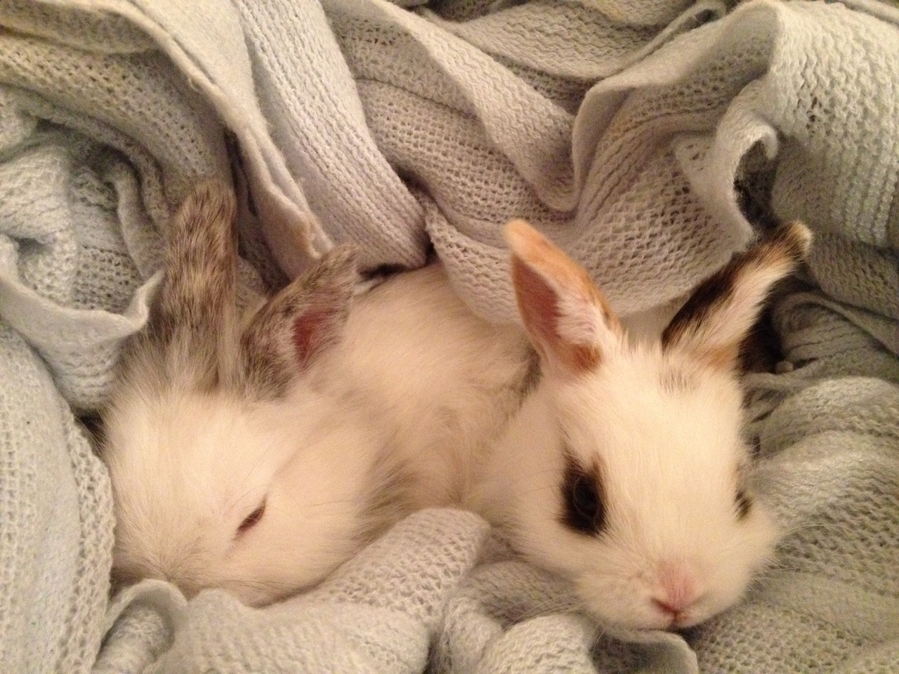 dailybunny:  Cozy Bunnies Are Cozy Thanks, Jess!  Becky…