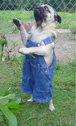 Old McPuggle had a farm.  OVERALLS OVERALLS OVERALLS! -This photo was discovered by my lovely friend, Nicole