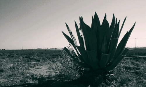 flatlander40photography:  West Texas Agave flatlander40 photography
