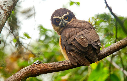 animals-animals-animals:  Spectacled Owl (by fveronesi1)