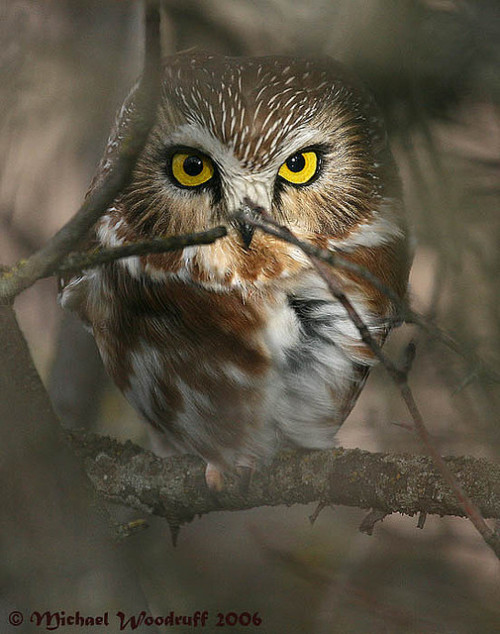 fairy-wren:  northern saw-whet owl (photo by michael woodruff)  i <3 owgles