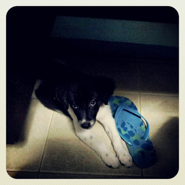 DeeDee underfoot while I study. She loves slippers.  (Taken with Instagram at Brookside, Cainta, Rizal)