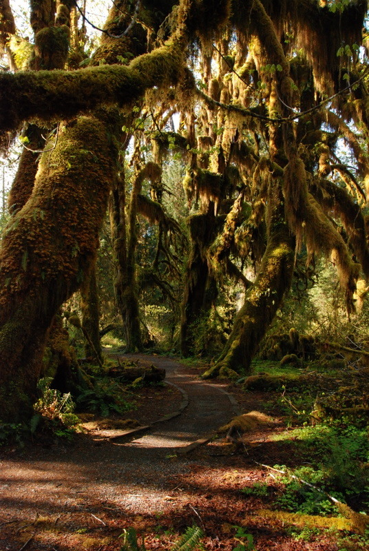 Image description: Hoh Rain Forest is located in the stretch of the Pacific Northwest rainforest which once spanned the Pacific coast from southeastern Alaska to the central coast of California. The Hoh is one of the finest remaining examples of temperate rainforest in the United States and is one of the park's most popular destinations (including the Hall of Mosses pictured above). Photo from the National Park Service