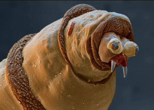shavingryansprivates:  noodlezone:  A maggot's face under an electron microscope  HAHA LOOK AT THIS STUPID IDIOT LOOK HOW DUMB HE LOOKS WHAT A MORON