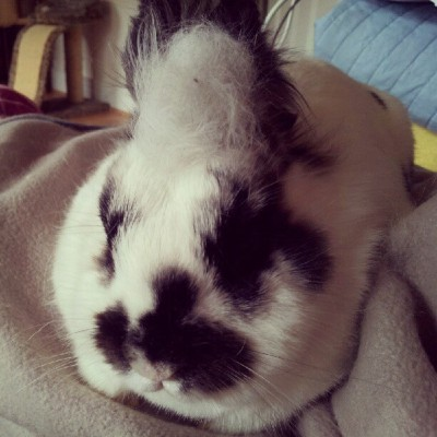 "misscoco:  ""Do you like my fur hat? I shed it myself"" #bunny #rabbit #bunniesworldwide (Taken with Instagram)"