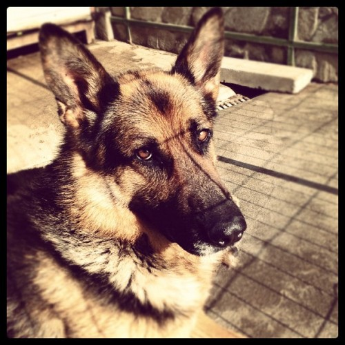 Now this is a German Shepard! (Taken with Instagram)