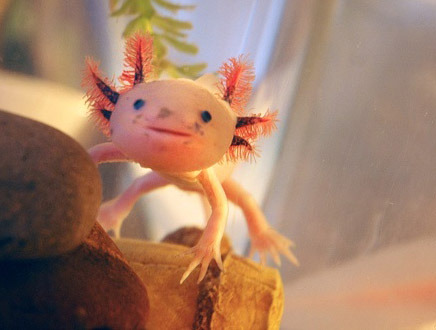 cutecuddlez:  Cutest amphibian in the world!! Spread awareness of the Axolotls which are critically endangered and near extinction in the wild by reblogging!!