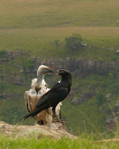 whaoanon:  ohcorny:  asilentbeast:  White-necked Raven, Cape Vulture by lofgreenj.   THEY'RE IN LOVE  they're in love  Pixar, Dreamworks, ANYONE. BIRD MAIN CHARACTERS.