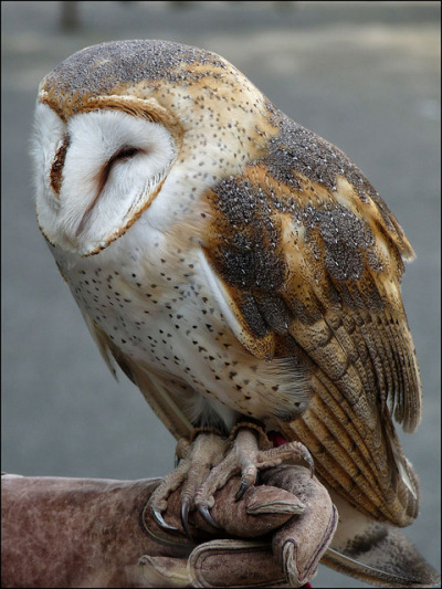 fat-birds:  Barn Owl by naturealbeing on Flickr.