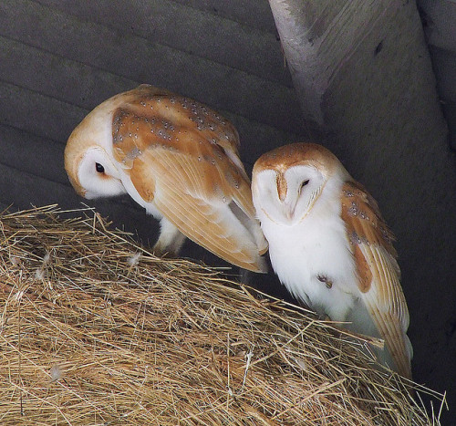 Barn owls bls by mikasuncle on Flickr.