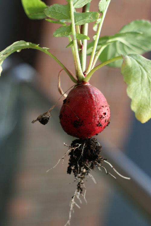 nosmo:  First radish of the summer.