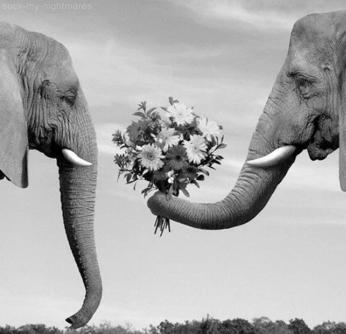 my-ahh:  did you know that an elephant can literally die of a broken heart.