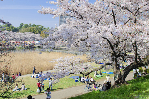 Hanami 2011 by Humberto coga on Flickr.