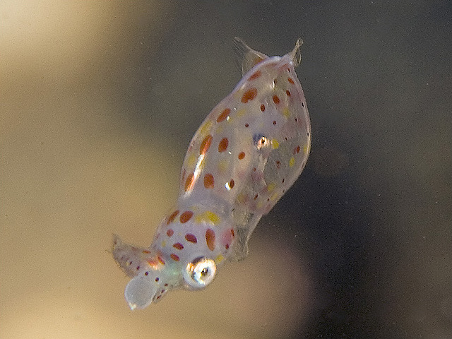 Juvenile European Squid, likely just hatched Loligo vulgaris