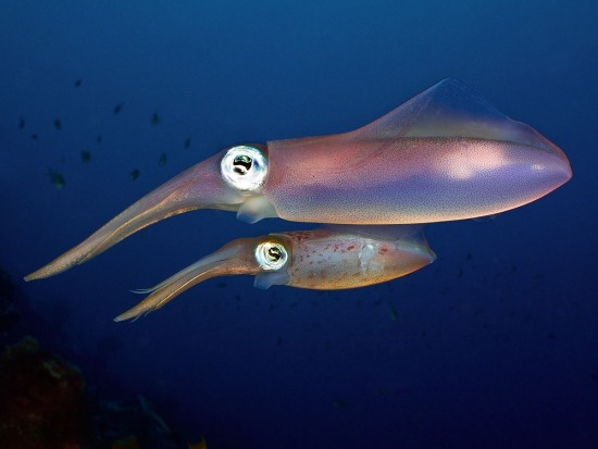 Pair of squids Species unknown