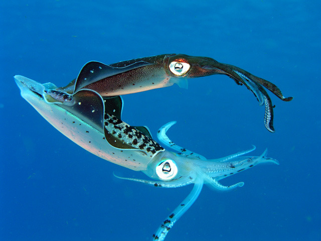 Caribbean Reef Squids Mating Sepioteuthis sepioidea  Imagine the idea of remaining celibate your entire existence right until the last day of your life where you engage in a massive orgy of sorts. Intrigueing? The carribean reef squid(Sepioteuthis sepioidea)does just that! A torpedo-shaped squid that averages in length at about 20cm, belongs to the Cephalopod family and can be found in the shallow reefs of the carribean sea in schools of 4-30. If you think this is going to be just another boring entry extolling the biological traits of this cephalopod– think again! One of the most interesting aspects about this squid is that, like other cephalopods, its is semelparous. Semelparous organisms reproduce only once in their lifetime, thus explaining the title of this entry you are reading. The crux of this entry, will thus focus on the mating ritual of the carribean reef squid.For the most part of their lifespan, the Sepioteuthis sepioidea are perfectly content having no sex at all, swimming around in schools in the day and hunting alone for food at night, consuming up to 60% of their body mass with their voracious appetites. However, this all changes as they approach the last weeks of their lifespan, and their voracious appetite for food translates into an overwhelming sex drive. During mating season, these squids are known to mate for hours at a time, and their mating ritual precedes a courtship process, which can be a very interesting sight indeed. During the courtship ritual the Sepioteuthis sepioidea change their colouration, shape and texture via nervous control of  their chromatophores. Males do this to enhance their attractiveness to the opposite sex whereas females do so to indicate their interest. Read more->