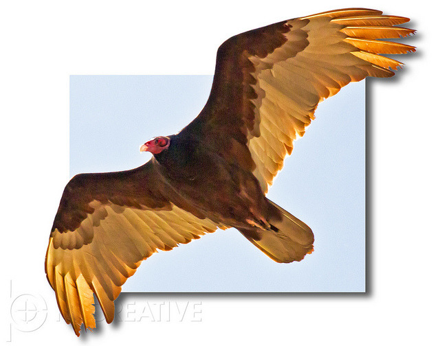 Turkey Vulture on Flickr.Beauty and the beast, all in one.
