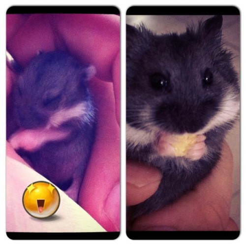 Ah black sudah grow up 😁 #hamster #cute  (Taken with Instagram)