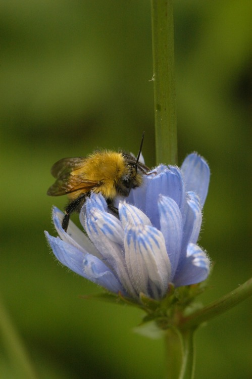 "natureshare:  Notes from the Field by Jack Ballard: ""Buzzing Bumblebees"" http://bit.ly/Myl9Zr"
