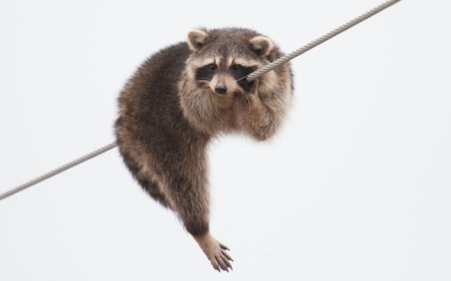 A raccoon stranded on a telegraph wire in Grimsby, Ontario, Canada.  Picture: Chuck Courson / Rex Features