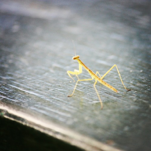 A praying mantis that was sharing my table  Kauai, Hawaii in January 2012.