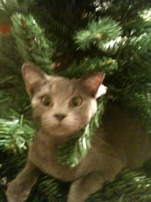 get out of there cat. you are not tinsel. though you do shed everywhere like it.