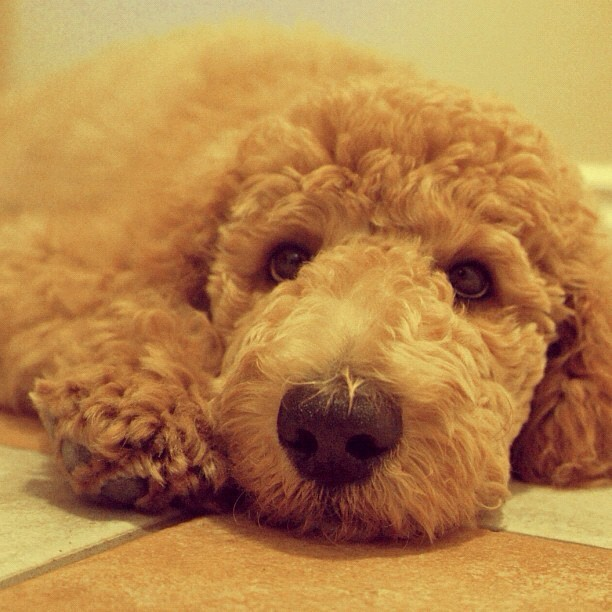 Tom's cute doggie Dunlop ::: From @tomshap ::: #ig #curly #sweet (Taken with Instagram)
