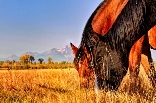 Horses grazing at the Tetons (by Ronnie Wiggin)