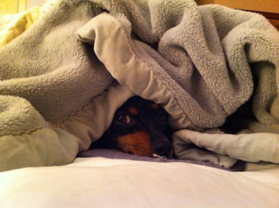 My Miniature Pinscher Eleanor Rigby (Ellie for short). She loves to burrow and nap under big piles of blankets.